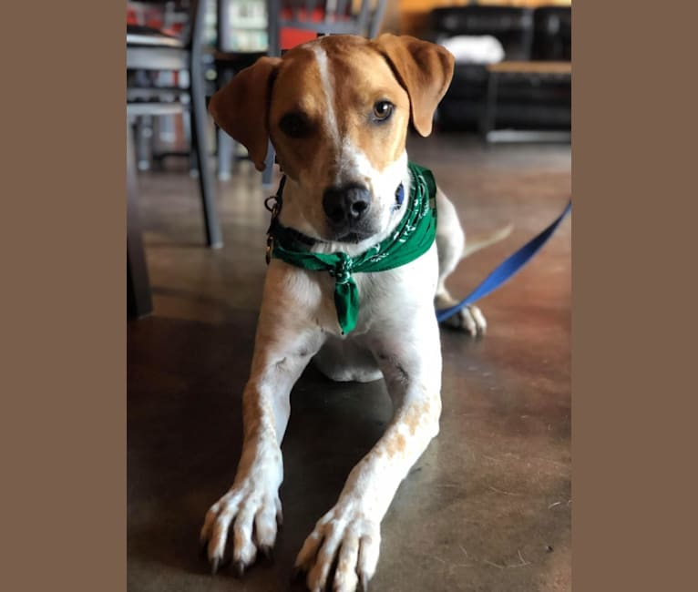 Photo of Puck, an Australian Cattle Dog, American Pit Bull Terrier, German Shepherd Dog, Great Pyrenees, and Mixed mix in Pampa, TX, USA