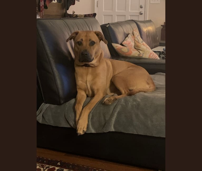 Photo of Troy, an American Pit Bull Terrier and Chow Chow mix in Marietta, Georgia, USA