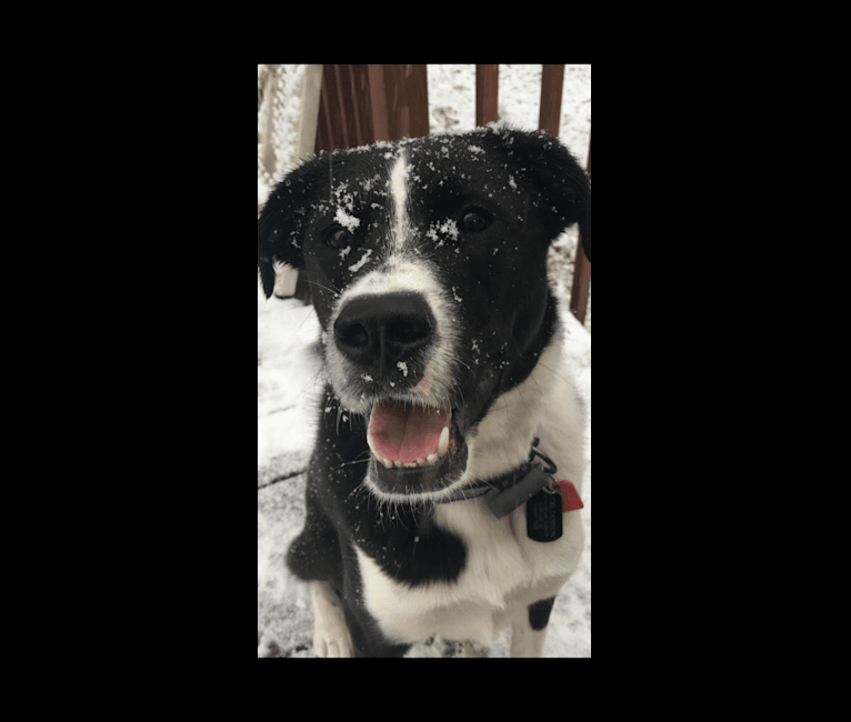 Photo of Dexter, a Great Pyrenees and Boxer mix