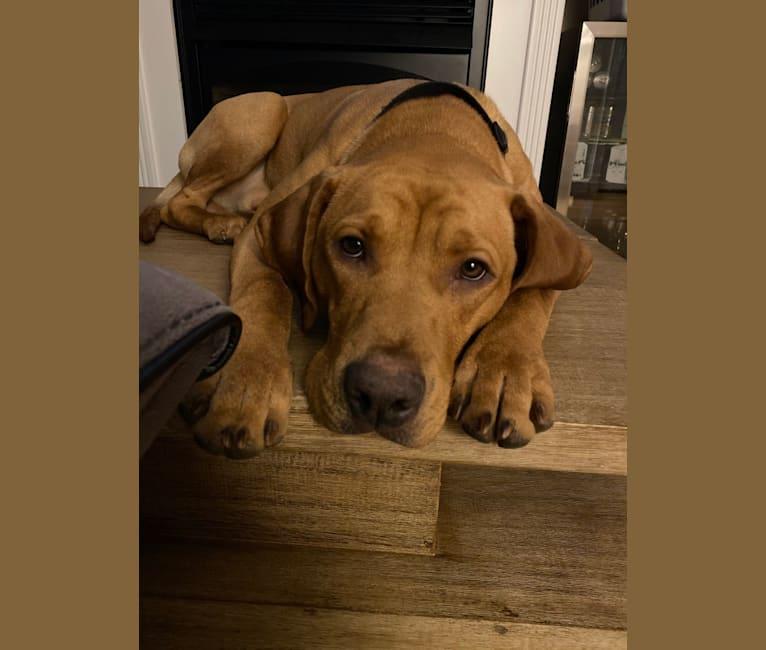 Photo of Murphy, a Pointer, Labrador Retriever, Golden Retriever, Beagle, and Boxer mix in East Haven, Connecticut, USA
