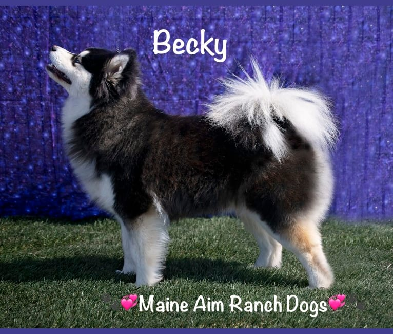 Photo of Becky, a Siberian Husky and Pomeranian mix in Maine Aim Ranch, King, Allerton, IA, USA