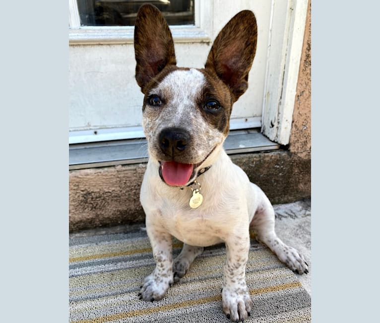 Photo of Boxer Acer Pineda, an American Bully, Australian Cattle Dog, Chihuahua, and German Shepherd Dog mix in Fullerton, California, USA