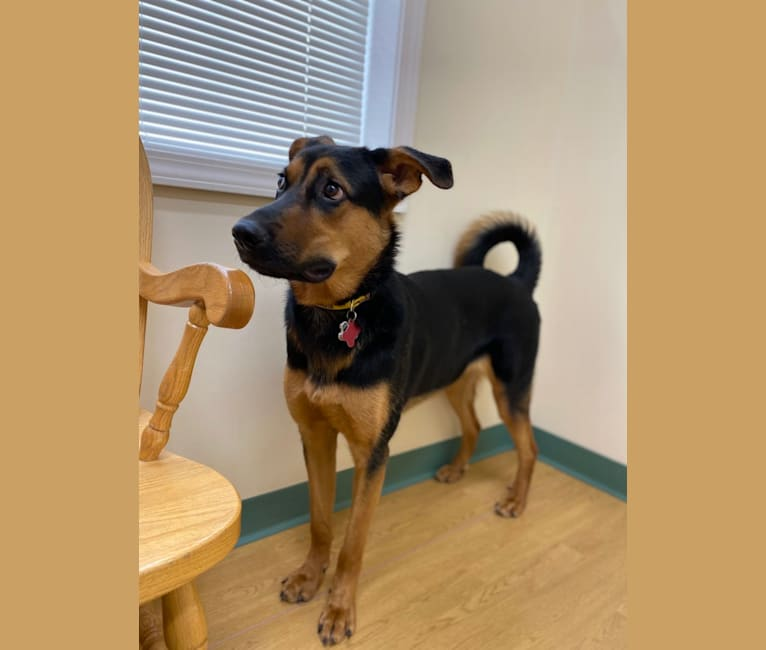 Photo of Sascha, a German Shepherd Dog and Rottweiler mix in Ithaca, New York, USA