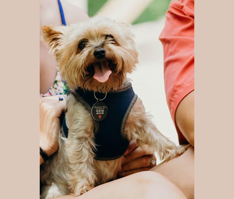 Photo of Malaki Demetri, a Yorkshire Terrier  in Pottsville, Arkansas, USA