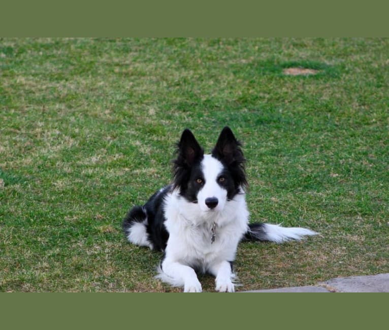 Photo of Spock, a Border Collie, Australian Cattle Dog, and Mixed mix in Queen Creek, AZ, USA
