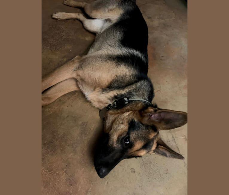 Photo of Bella, a German Shepherd Dog, Australian Cattle Dog, and Australian Shepherd mix in Placerville, California, USA
