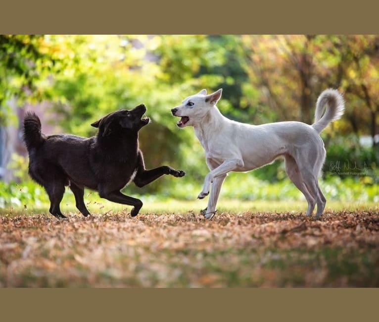 Photo of Moshae, a Canaan Dog  in Élevage de Solemel : Éleveur de Berger Australien, Podengo portugais, Canaan Dog (Occitanie), Bouniols, Castelnau-Montratier-Sainte-Alauzie, Frankreich