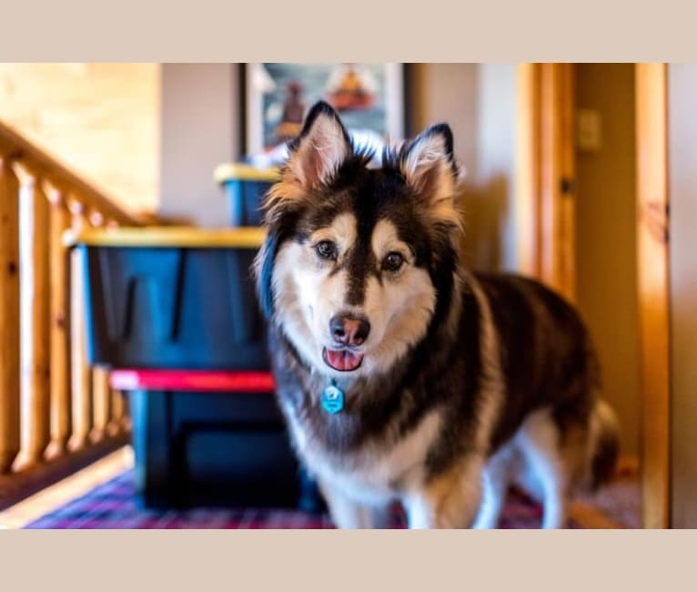 Photo of Houdini, a Siberian Husky, Border Collie, Chow Chow, and Mixed mix in Houston, Texas, USA