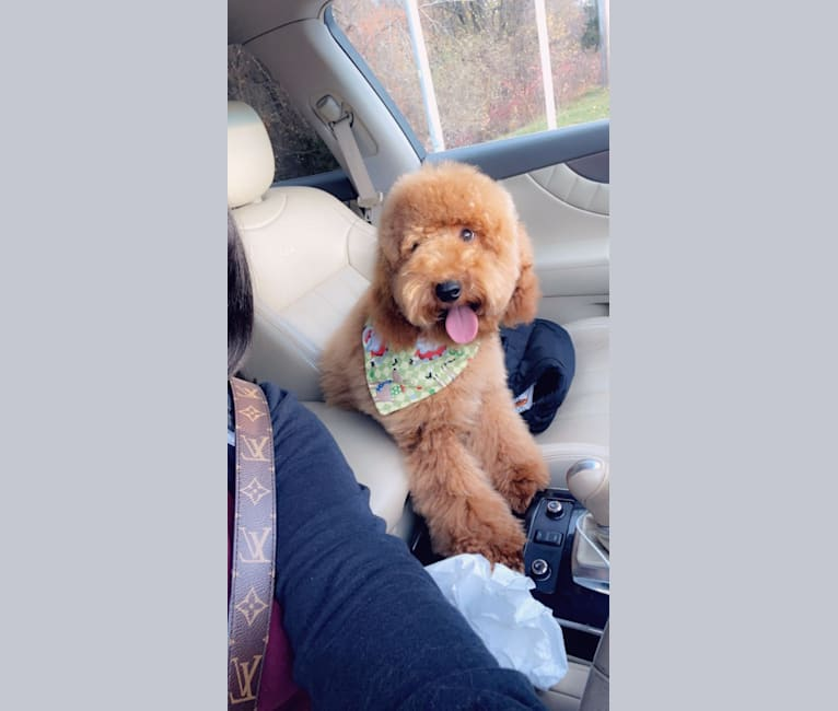 Photo of Toby, a Poodle (Small)  in Pawtucket, Rhode Island, USA