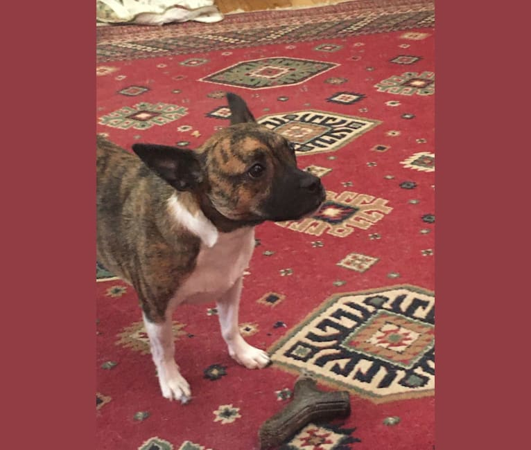 Photo of Laika Dee, a Boston Terrier, Shih Tzu, and Mixed mix in West Virginia, USA