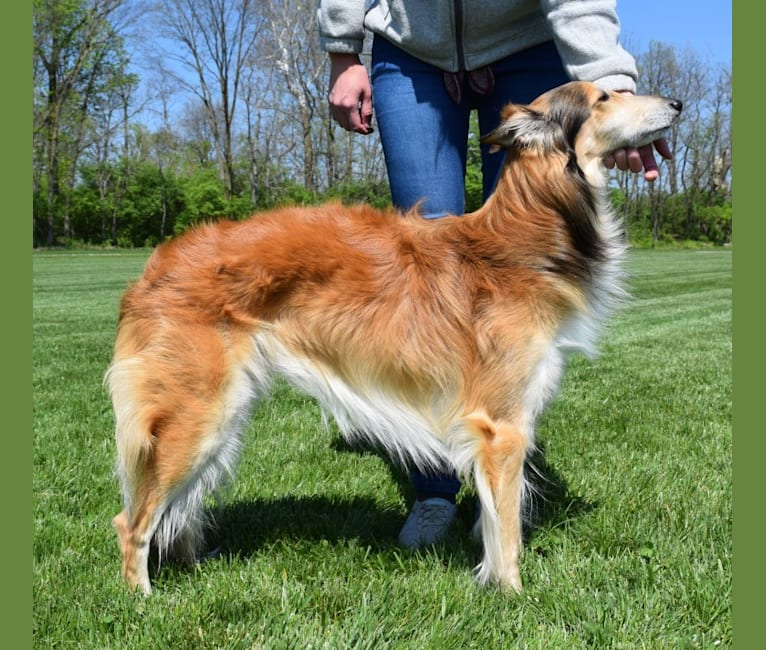 Photo of Flynn, a Silken Windhound  in Dayton, Ohio, USA