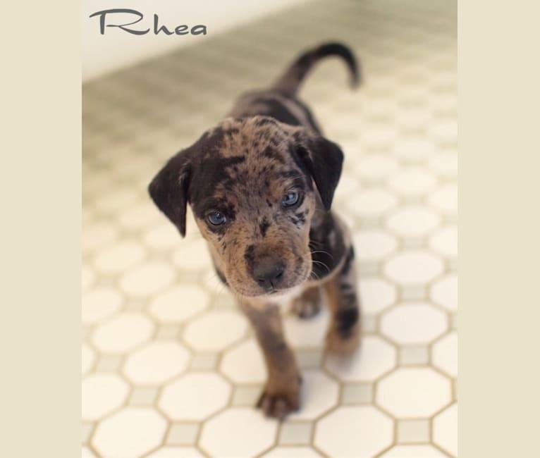 Photo of Rhea, a Basset Hound, Catahoula Leopard Dog, and Labrador Retriever mix in Texas, USA