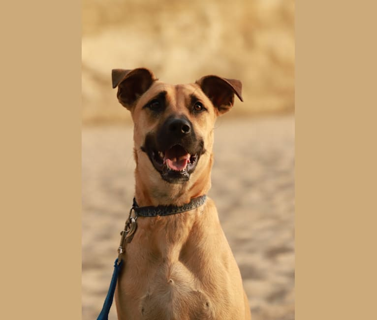Photo of CODY, a Staffordshire Terrier, Chow Chow, German Shepherd Dog, Siberian Husky, and Mixed mix in Rosarito, Baja California, Mexico