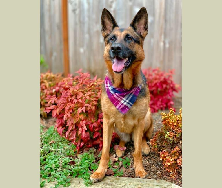Photo of Anya, a German Shepherd Dog  in Auburn, WA, USA