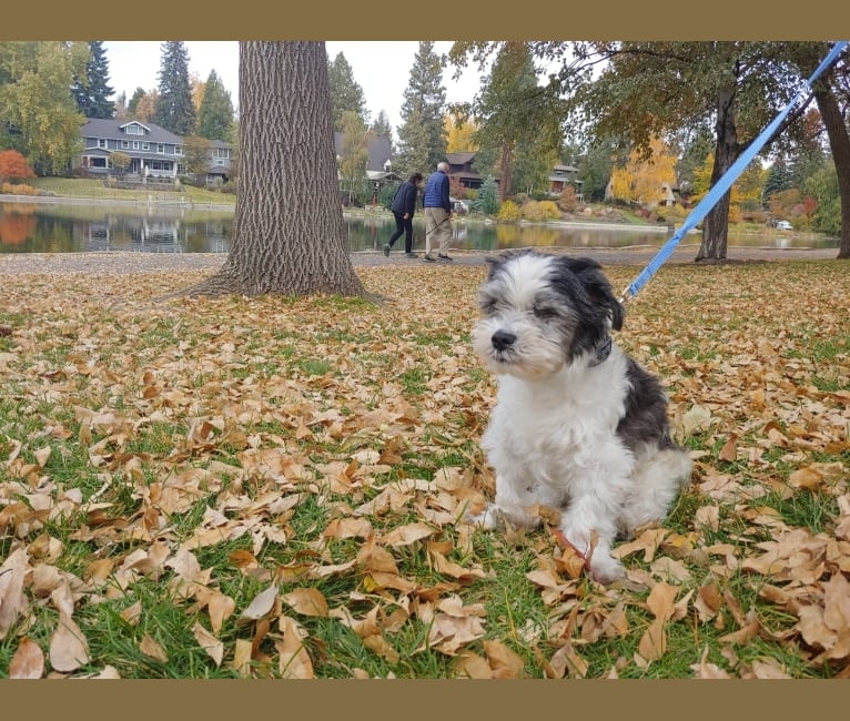 Photo of Chance, a Malshi  in Bend, Oregon, USA