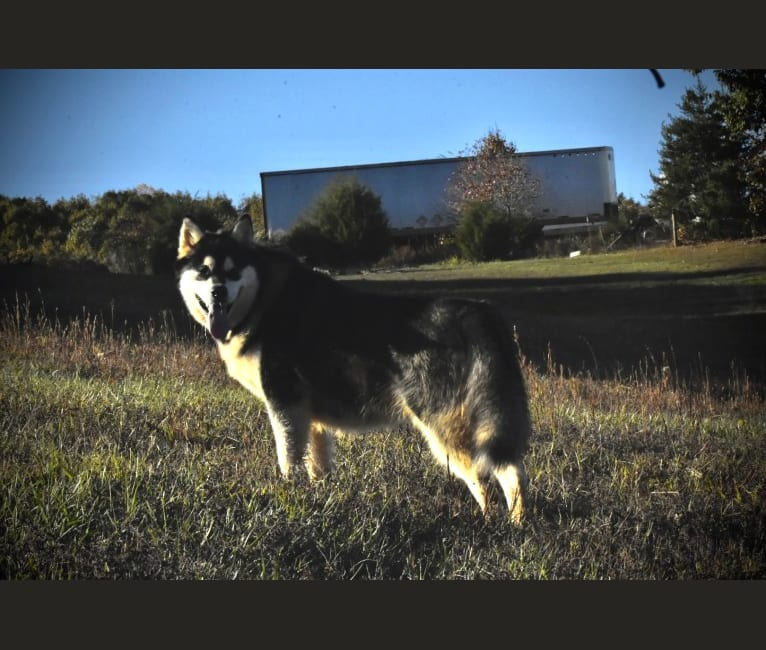 Photo of Tess, an Alaskan Malamute  in Illinois, USA