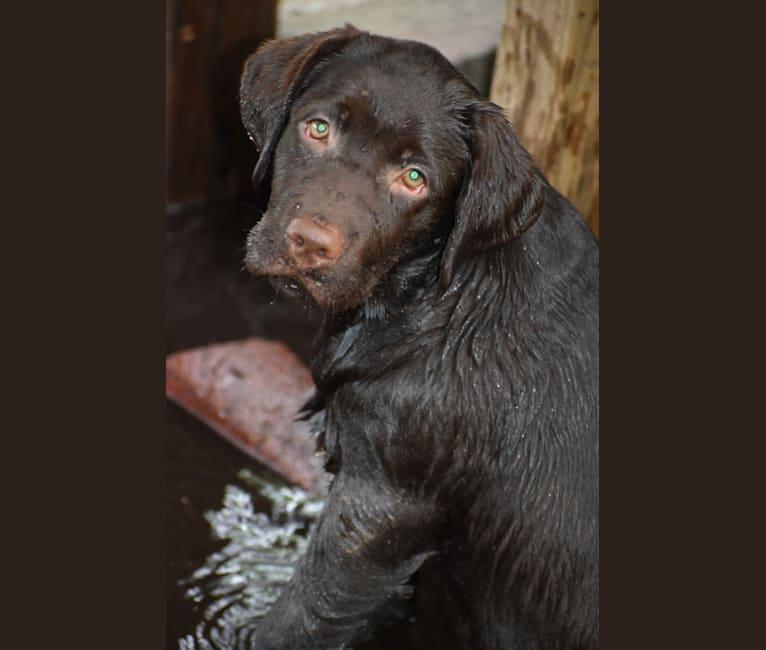 Photo of Gabbi, a Labrador Retriever  in Hazel Green, AL, USA