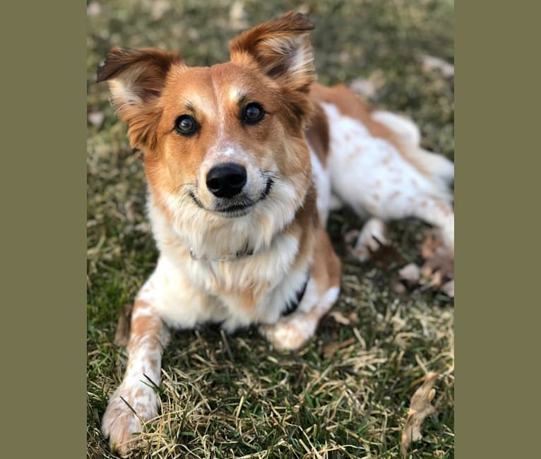 Photo of Ollie, a Russell-type Terrier and Australian Cattle Dog mix in Loganton, Pennsylvania, USA