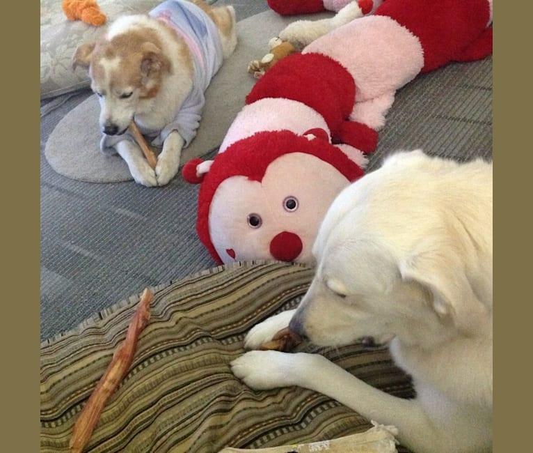 Photo of Rosie, a Golden Retriever, Chow Chow, Labrador Retriever, and Australian Shepherd mix in Pickering, Ontario, Canada