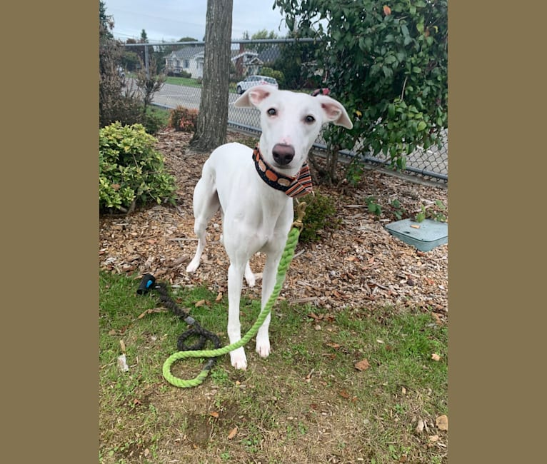 Photo of Rush, a Whippet  in Goldendale, WA, USA