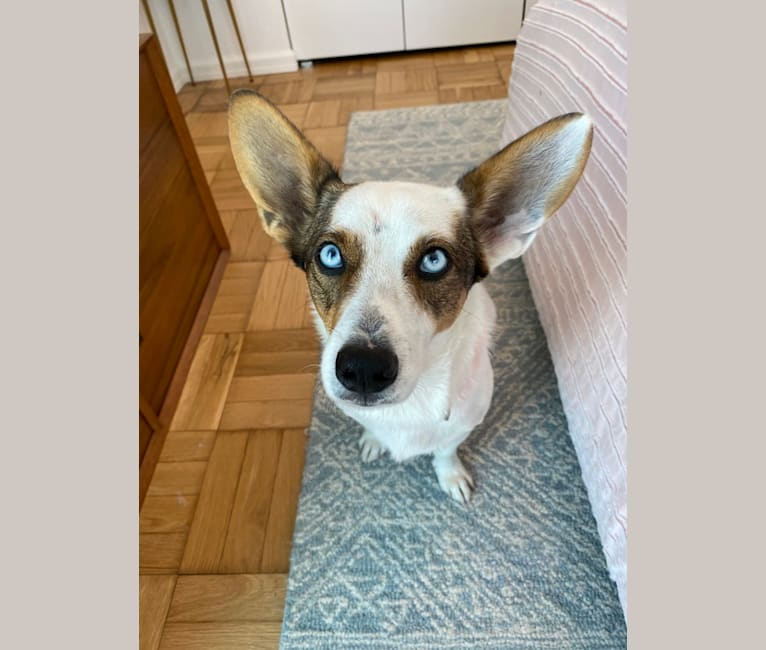 Photo of Marco, a Chihuahua, Siberian Husky, and Mixed mix