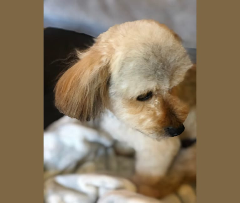 Photo of Teddy - HAUS of Ruxpin, a Chihuahua, Poodle (Small), Shih Tzu, and Mixed mix in Santa Clara, California, USA