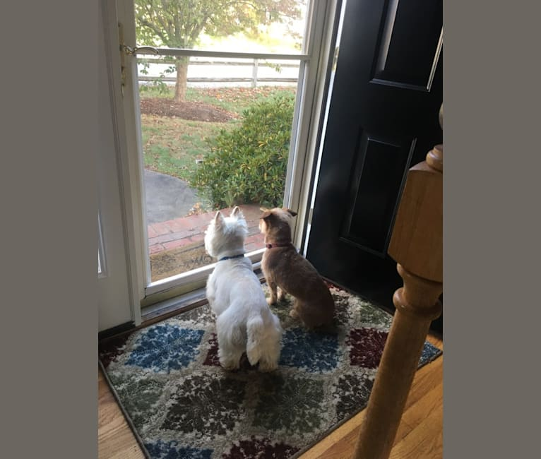 Photo of Snickers, a Russell-type Terrier and Poodle (Small) mix in South Carolina, USA