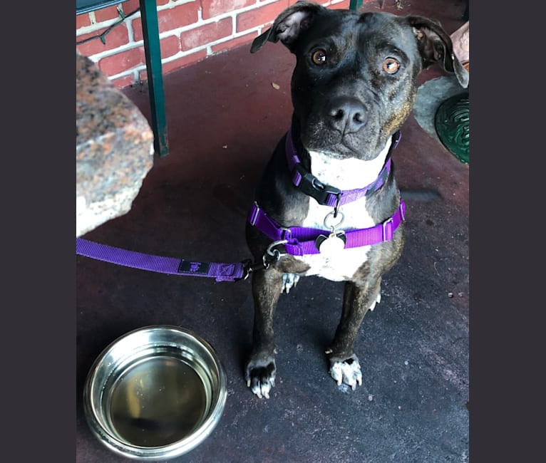 Photo of Suki, an American Pit Bull Terrier mix