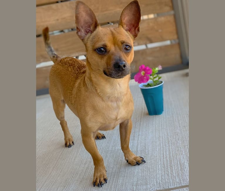 Photo of Scooby, a Chihuahua mix in Grapevine, TX, USA