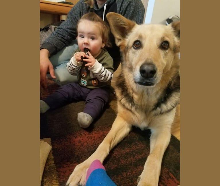 Photo of Kiki, a German Shepherd Dog, Siberian Husky, and Mixed mix