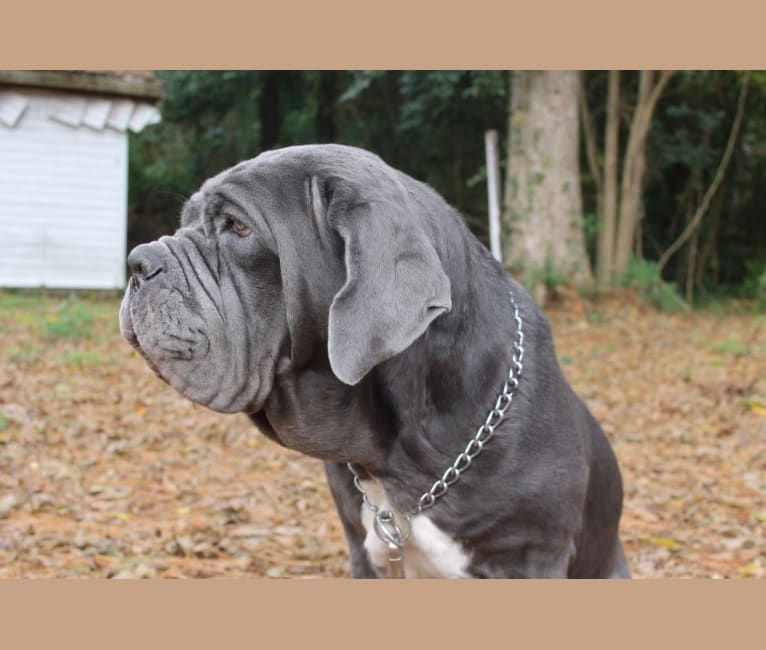Photo of Maui, a Neapolitan Mastiff  in Arlington, TX, USA