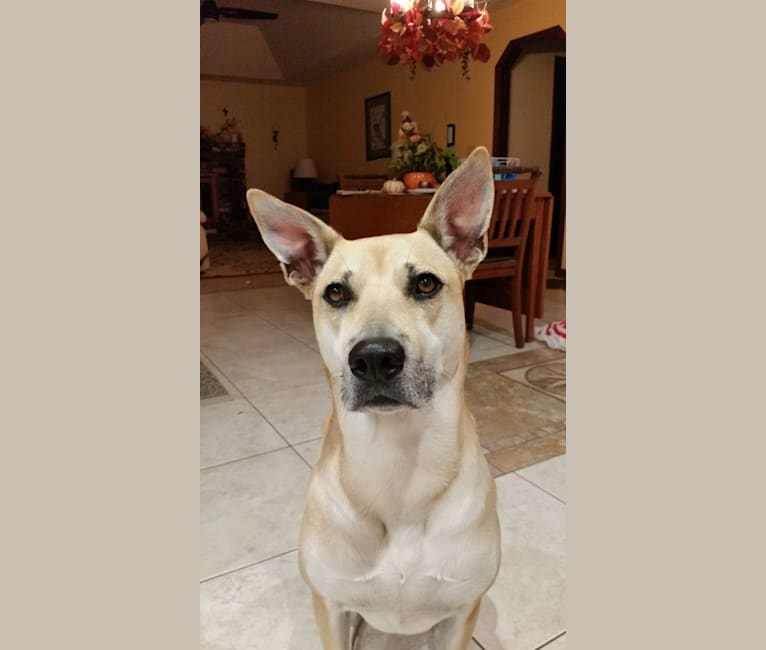 Photo of Ginny, an Akita, Boxer, Australian Cattle Dog, and Weimaraner mix