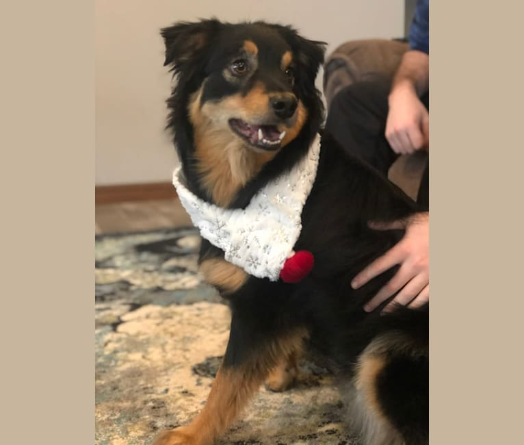 Photo of Wesley, an Australian Shepherd and Australian Cattle Dog mix in Tennessee, USA