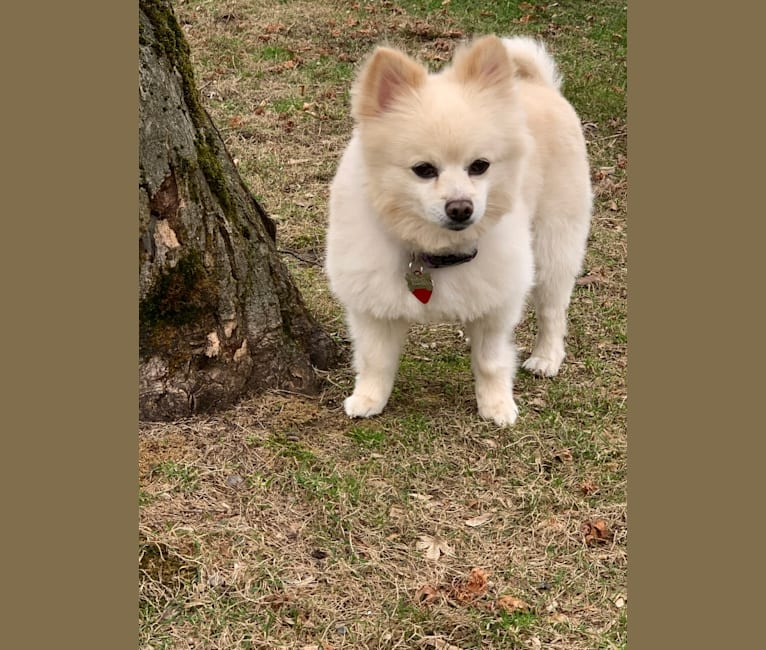 Photo of Rockwell, a Pomeranian and Mixed mix in New York, USA