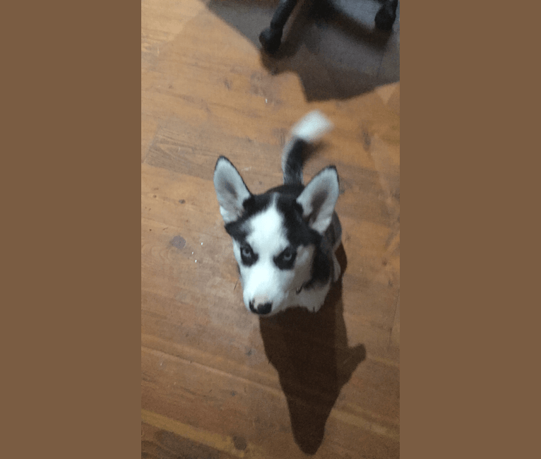 Photo of Peppermint, a Siberian Husky  in Surrey, British Columbia, Canada