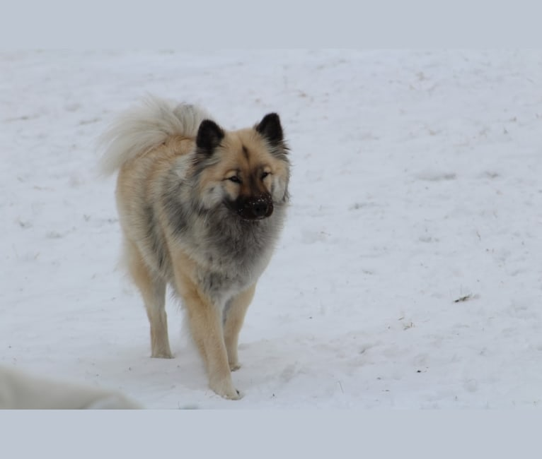 Photo of Yara, an Eurasier  in Germany