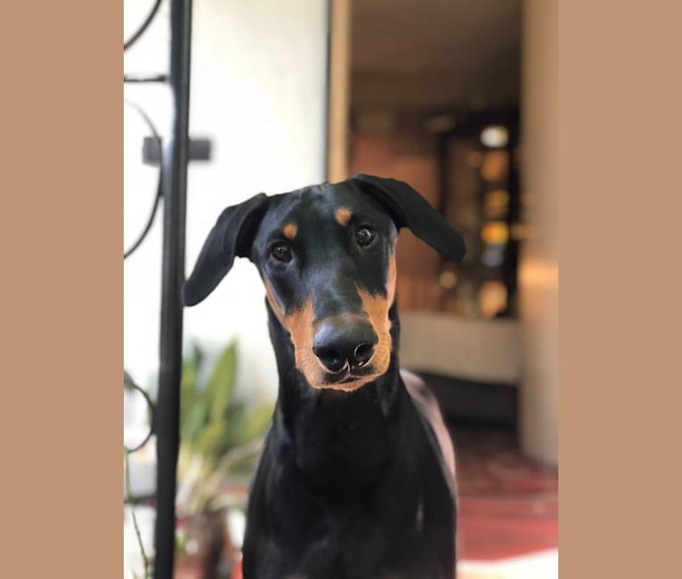 Photo of GOLDA, a Doberman Pinscher mix in Los Angeles, California, USA