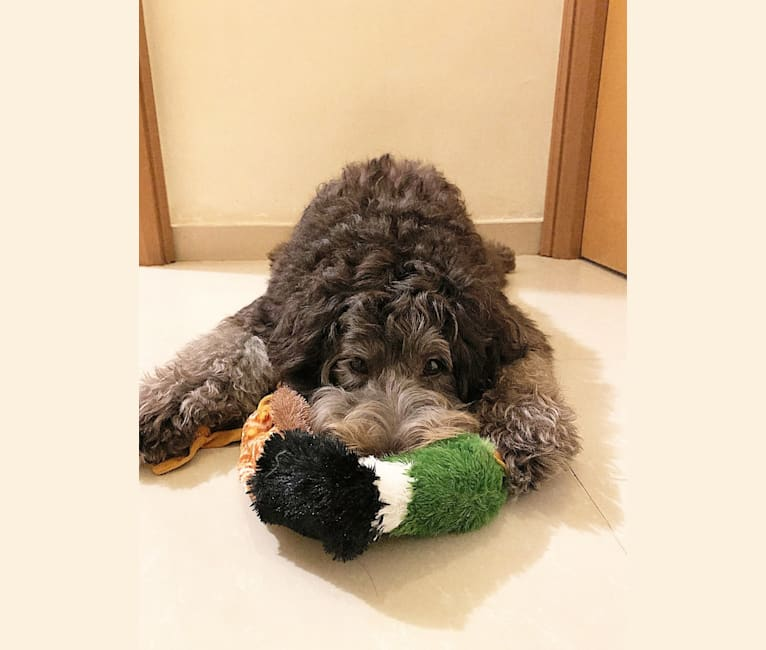 Photo of Wilma, a Poodle (Standard), Border Collie, Poodle (Small), Collie, and Samoyed mix in New Territories, Hong Kong