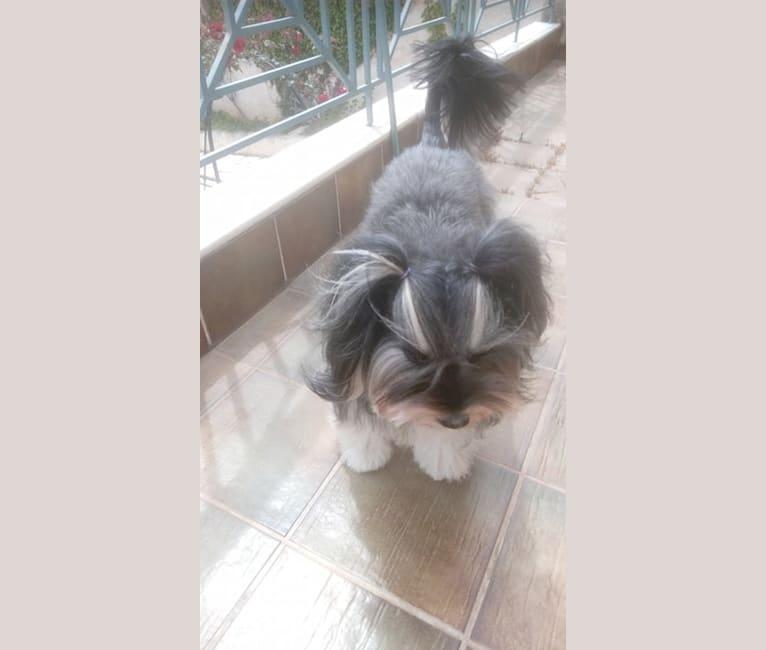Photo of PATOUSAKI, an European Village Dog, Poodle (Small), and Pekingese mix in Athens, Greece