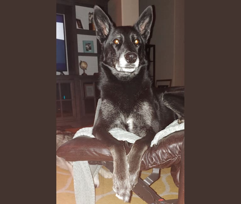 Photo of Lexi, a Siberian Husky, German Shepherd Dog, American Pit Bull Terrier, and Rottweiler mix in Las Vegas, Nevada, USA