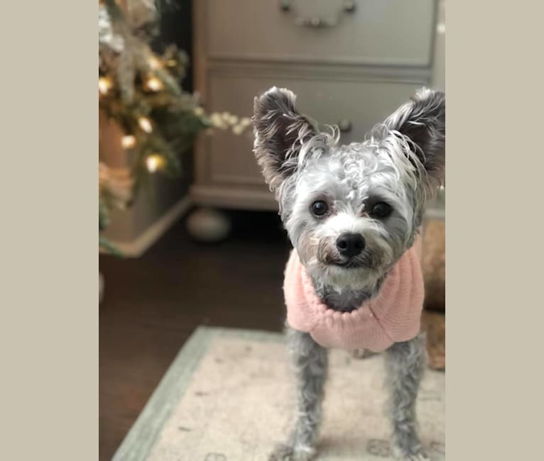 Photo of Piper Rose, a Chihuahua, Poodle (Small), Pomeranian, and Mixed mix in Acworth, Georgia, USA
