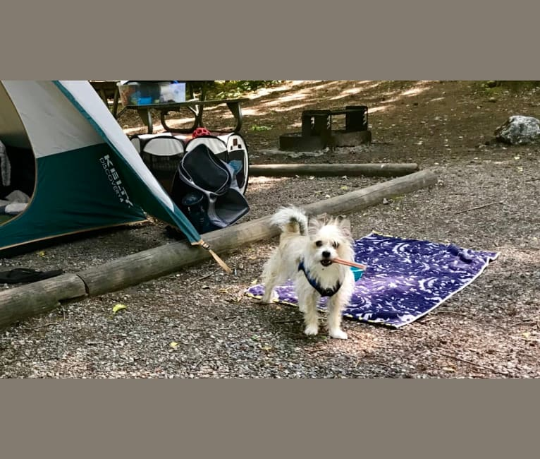 Photo of willie, a Chihuahua and Chinese Crested mix in Sedro-Woolley, Washington, USA
