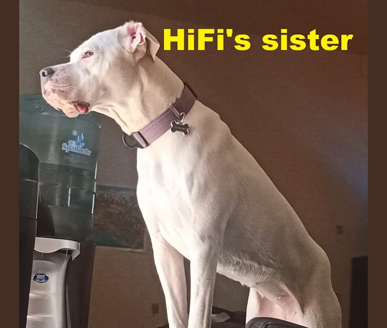 Photo of HiFi, a Dogo Argentino  in Los Angeles, California, USA
