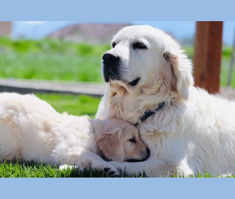Photo of JrCH. Thornton of Sunflower Valley, a Golden Retriever  in Serbia