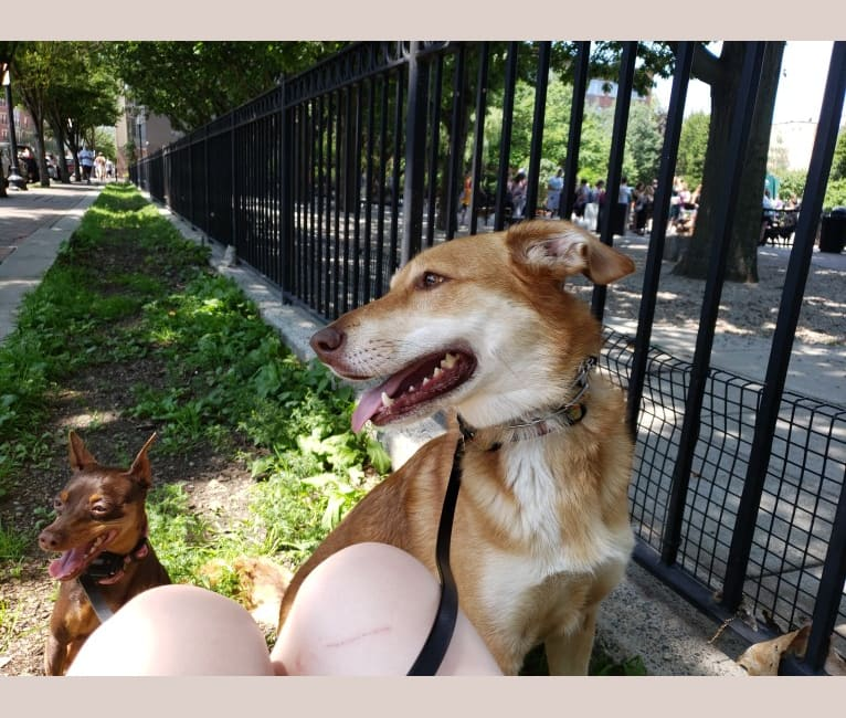 Photo of Carmen, a German Shepherd Dog, Miniature/MAS-type Australian Shepherd, Australian Shepherd, American Pit Bull Terrier, and Mixed mix