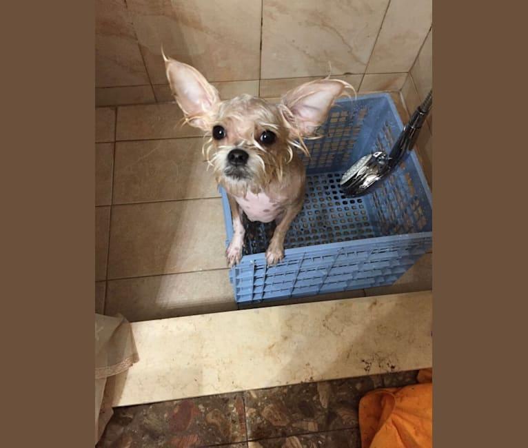 Photo of Millie, a Chihuahua, Miniature Schnauzer, and Shih Tzu mix in Miami, Florida, USA