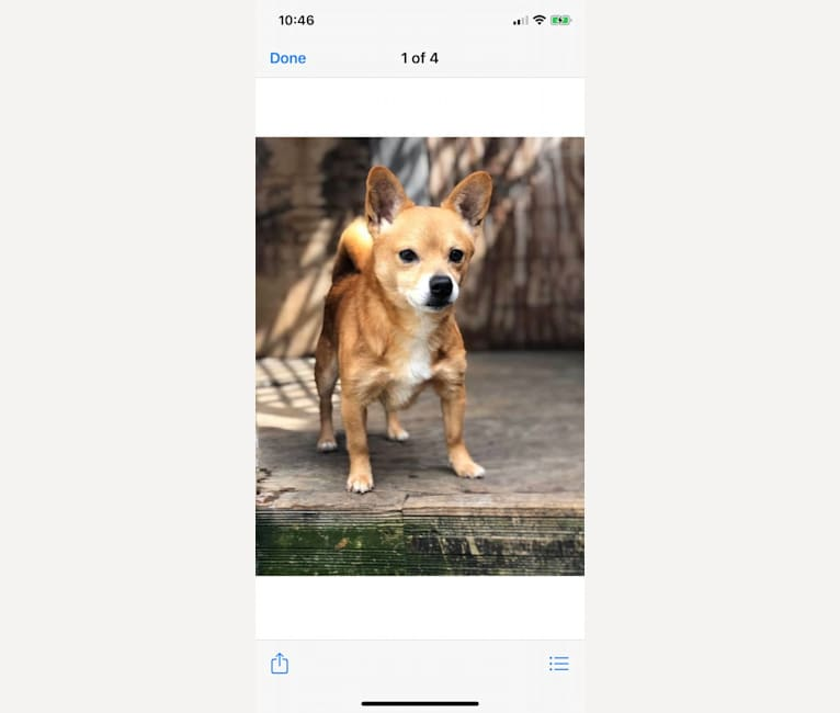 Photo of Odie, a Pomeranian, Dachshund, Rat Terrier, Toy Fox Terrier, and Mixed mix in Louisiana, USA