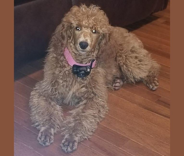 Photo of Ruby, a Poodle  in Nixa, Missouri, USA