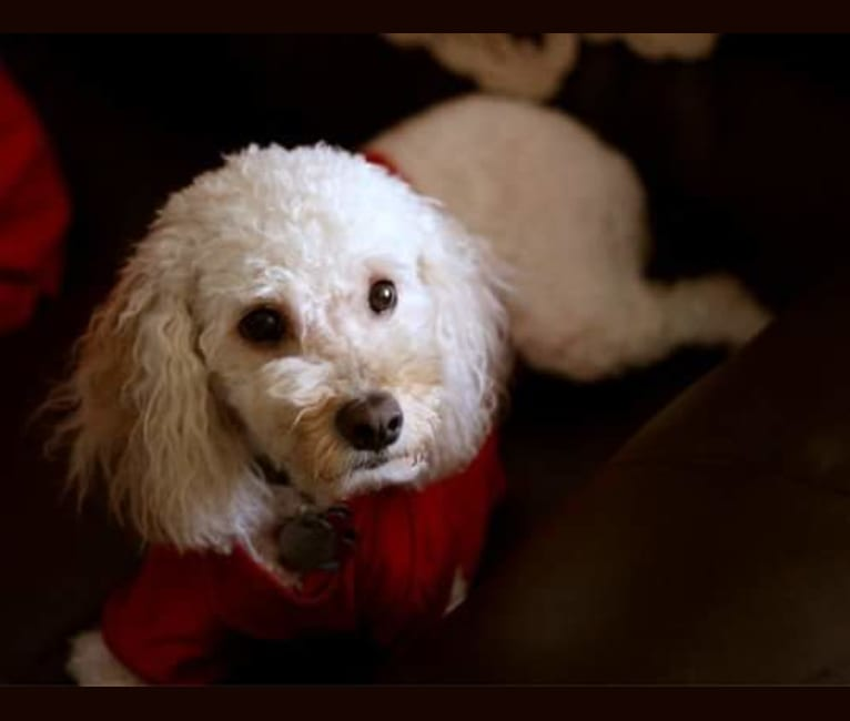 Photo of Mischief, a Cocker Spaniel, Poodle (Small), and Bichon Frise mix in Cincinnati, Ohio, USA