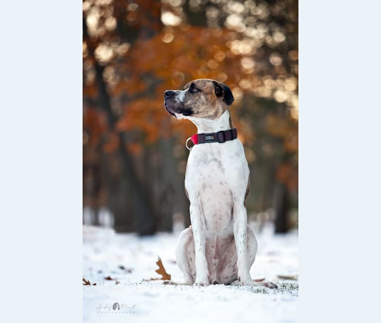 Photo of Logan, a Great Dane, Boxer, Saint Bernard, and Mixed mix in Granby, QC, Canada